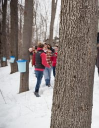 Maple Syrup Tapping at The Culinary Institute of America