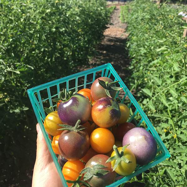 farm to table heirloom tomatos
