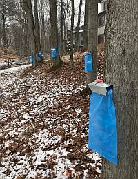 From Tree to Pancake: The Sweet and Simple World of Maple Tapping