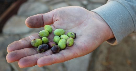 CIA Students Get Hands-on Experience by Olive Harvesting in the Napa Valley